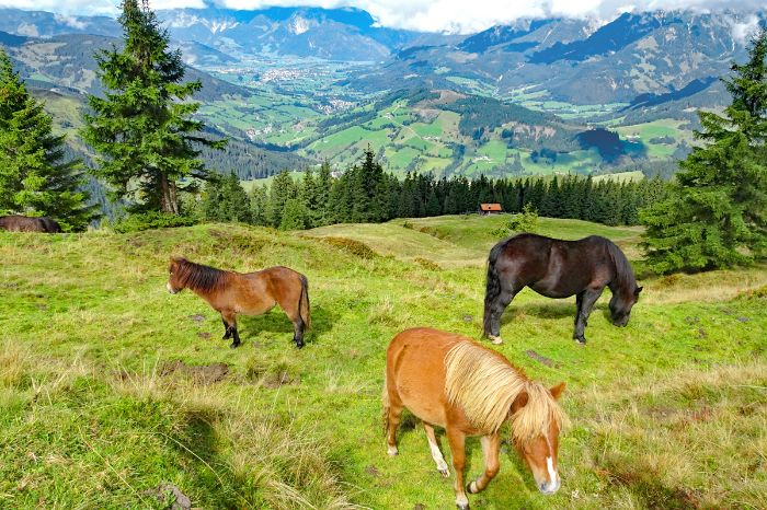 Horses at the Pinzgauer grass mountains