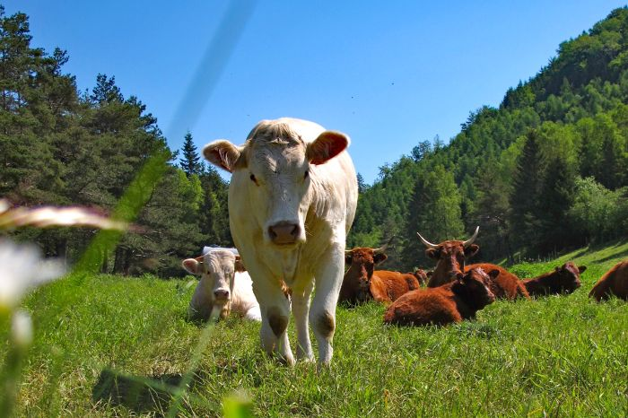 Cows as hiking companion in France