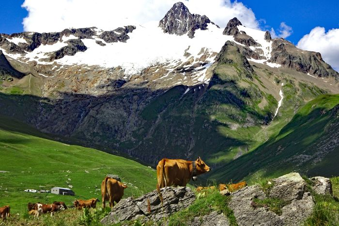 Loose cows in the Alps
