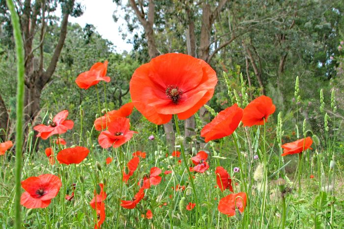 Poppies on the hikes through Provence