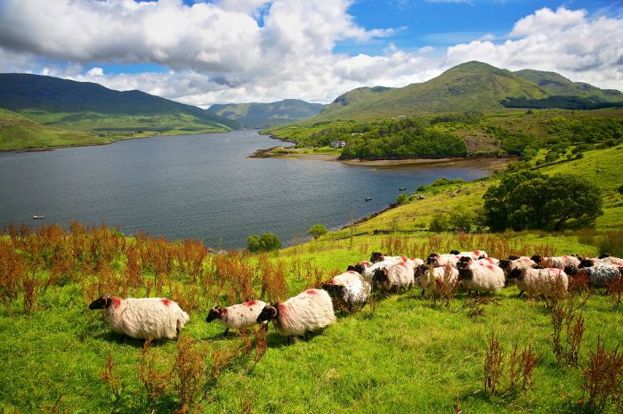 Flock of sheep on the green Island Ireland