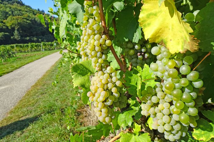 Hiking trail with vineyards on the world heritage trail Wachau