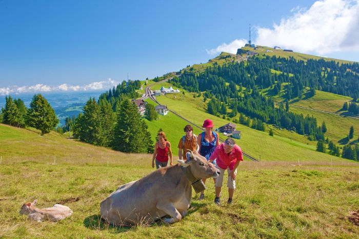 Loose cow at the Rigi
