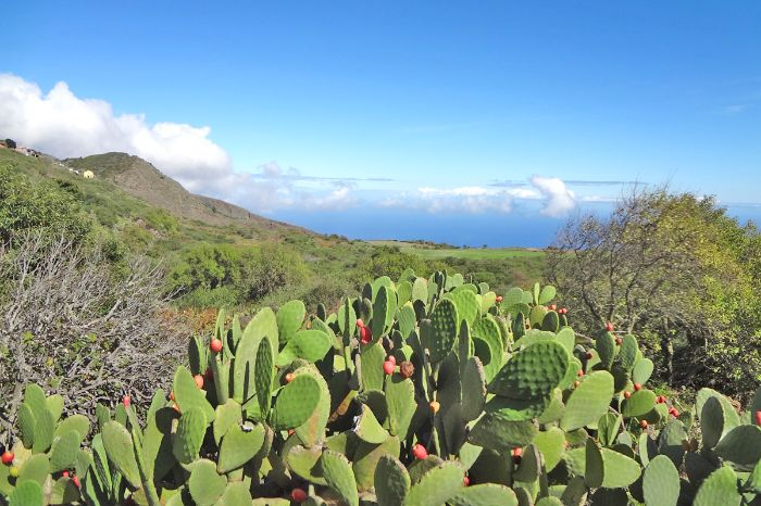 A lot of cactus during the hiks in Mirador Isora