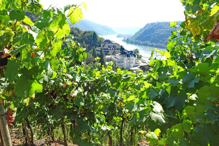 Vineyards at your hiking holiday on the Rhine
