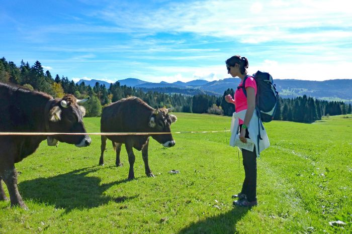 Cows at the Bregenz Forest
