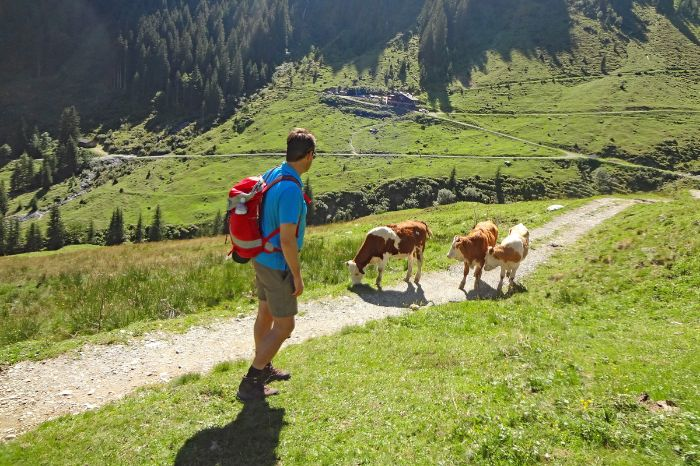 Cows on the hiking trail at the Saalalm