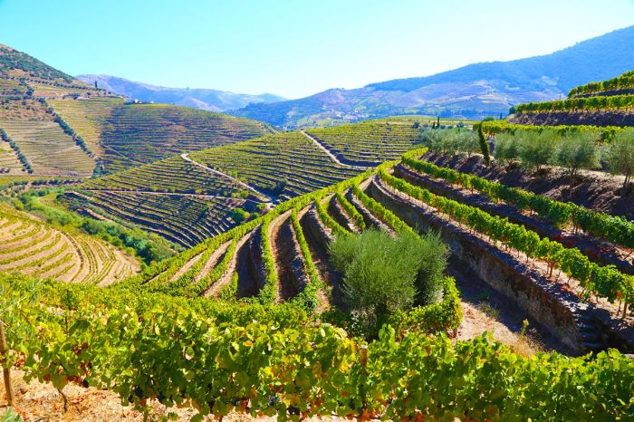 Rolling hills with green vineyards next to the hiking trails in Douro area