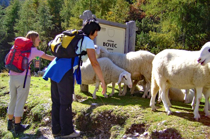 Sheeps as a hiking companion in Bovec