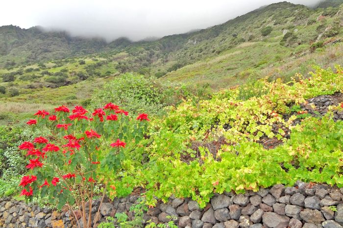 Beautiful flowers at the hiking tour El Hierro